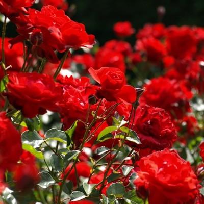 Smoked rose