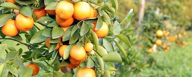 Brazilian Orange