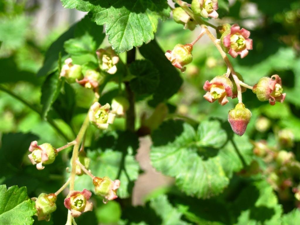 Black Currant Blossom