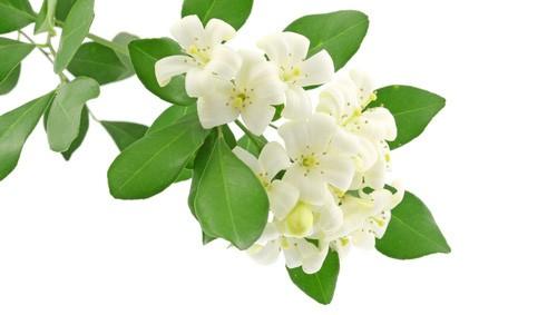 Indian Jasmine Sambac