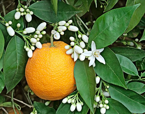 Orange Blossom Absolute