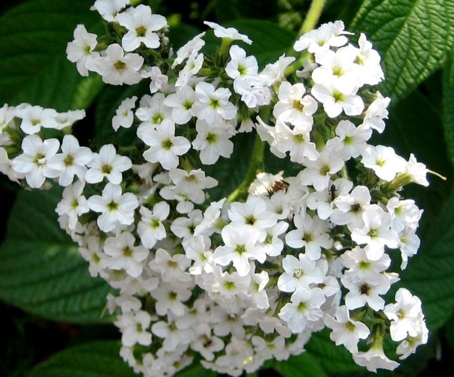 White Heliotrope